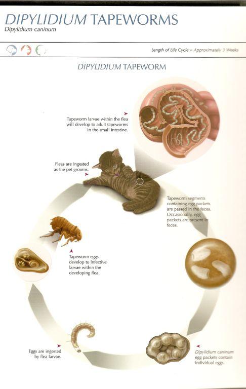 Parasites Cornerstone Animal Hospital